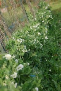 Persephone Farms' beautiful peas