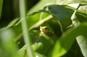 "Chard frog says: ""Eat local."""