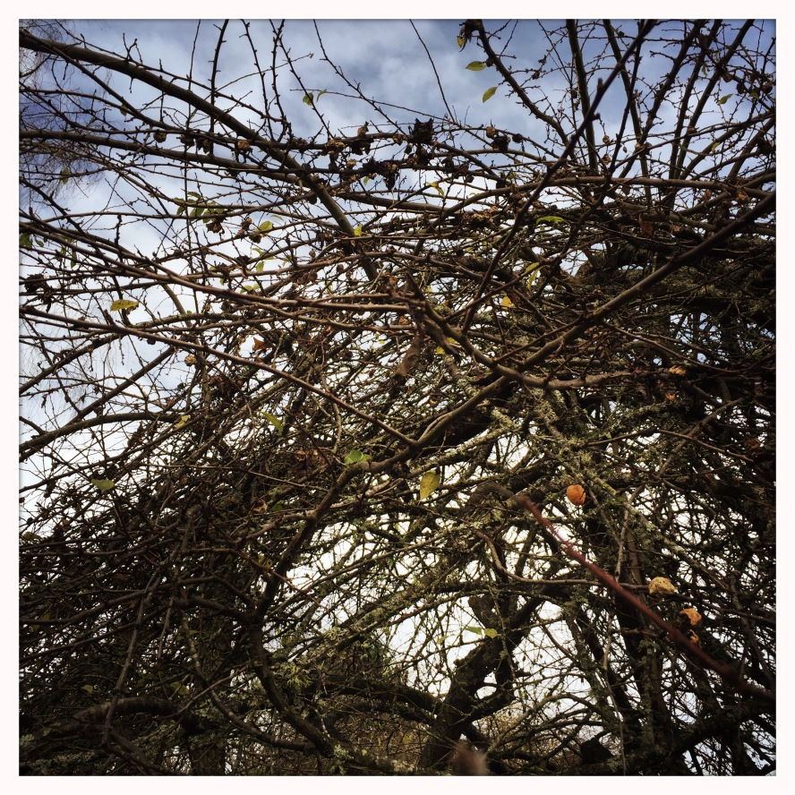 cold plum tree
